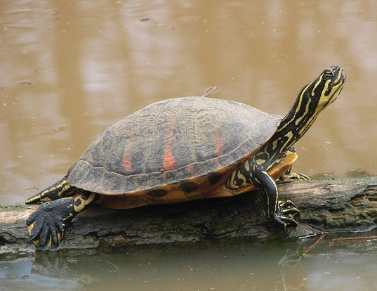 Picture of a florida red-bellied turtle (Pseudemys nelsoni)