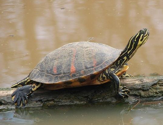 Florida Box Turtle Life Expectancy