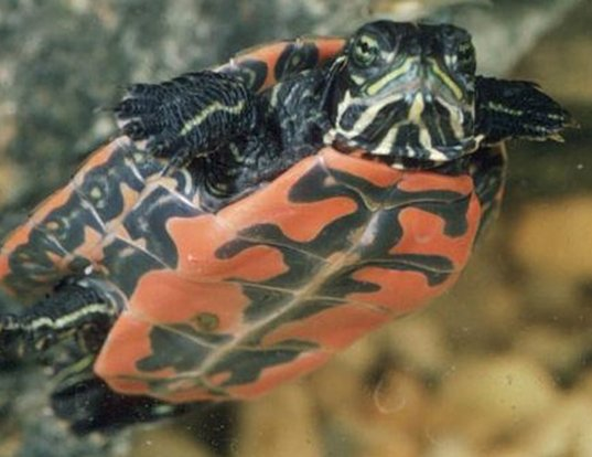 Picture of a northern redbelly turtle (Pseudemys rubriventris)