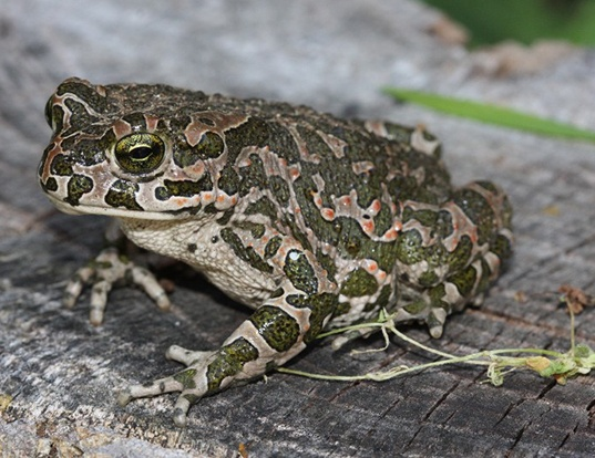 Picture of a green toad (Pseudepidalea viridis)