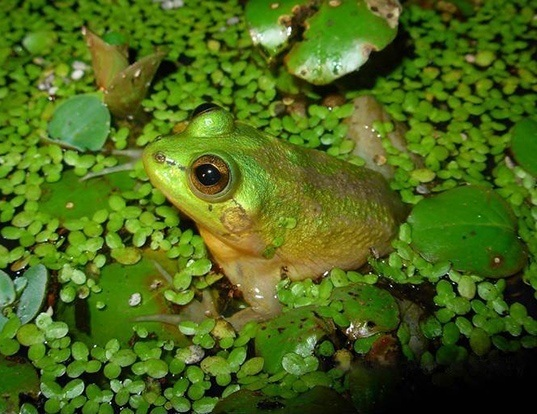 Picture of a paradox frog (Pseudis paradoxa)