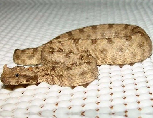 Picture of a persian horned viper (Pseudocerastes persicus fieldi)