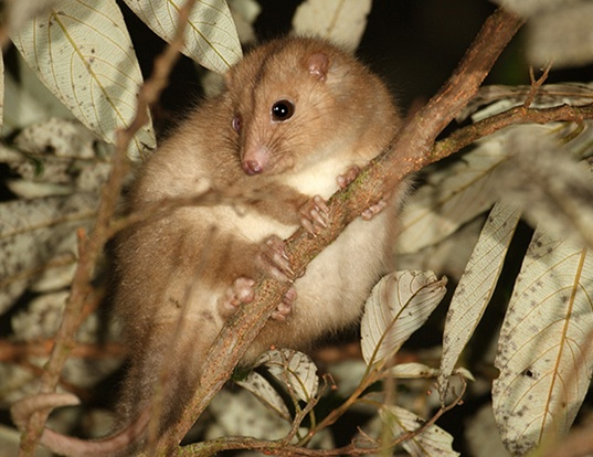 Picture of a daintree river ringtail possum (Pseudochirulus cinereus)
