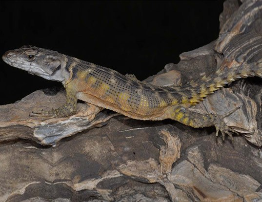 Picture of a s. african smooth-backed lizard (Pseudocordylus microlepidotus)
