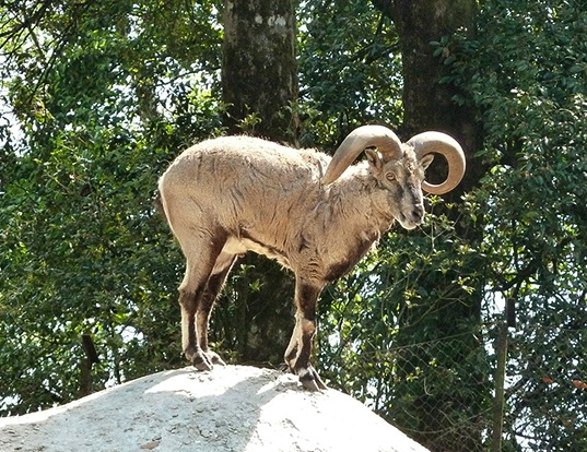Picture of a blue sheep (Pseudois nayaur)