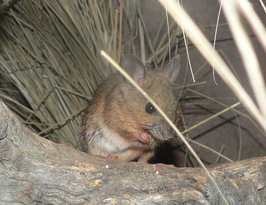 Picture of a plains mouse (Pseudomys australis)
