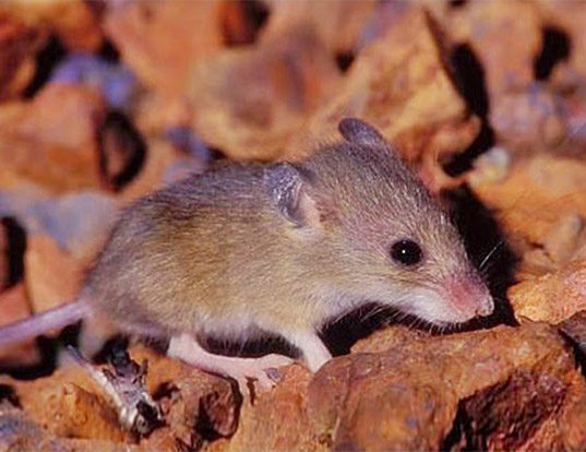 Picture of a western pebble mouse (Pseudomys chapmani)