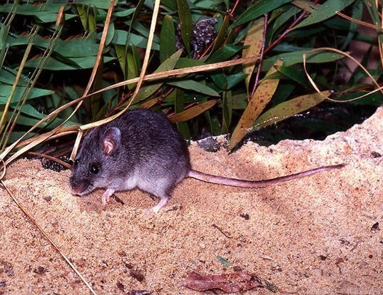 Picture of a smoky mouse (Pseudomys fumeus)