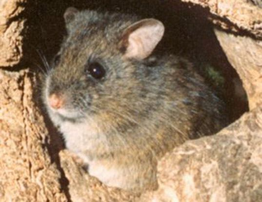 Picture of a long-tailed mouse (Pseudomys higginsi)