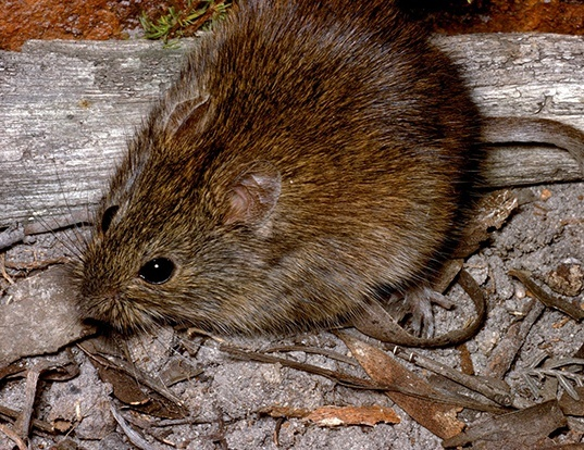 Picture of a heath mouse (Pseudomys shortridgei)