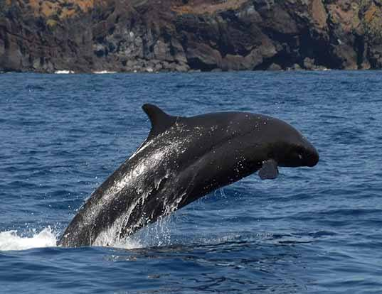 Picture of a false killer whale (Pseudorca crassidens)
