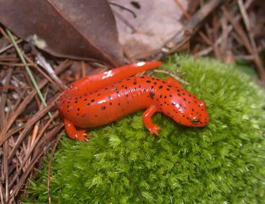 Picture of a blackchin red salamander (Pseudotriton ruber schencki)