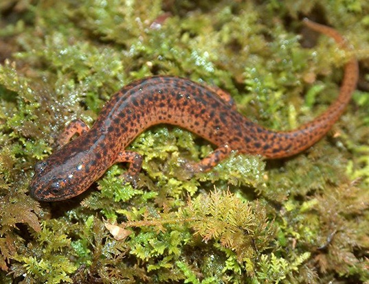 Picture of a southern red salamander (Pseudotriton ruber vioscai)