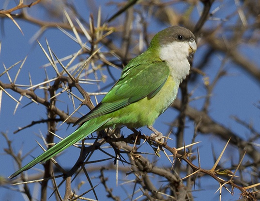 Picture of a grey-hooded parakeet (Psilopsiagon aymara)
