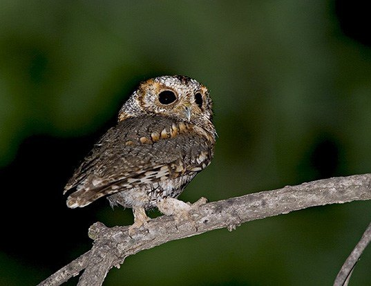 Picture of a flammulated owl (Psiloscops flammeolus)