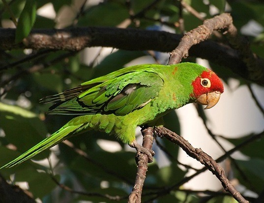 Picture of a red-masked conure (Psittacara erythrogenys)