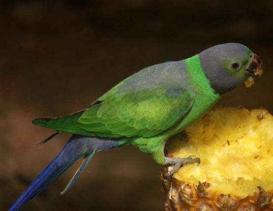 Picture of a emerald-collared parakeet (Psittacula calthrapae)