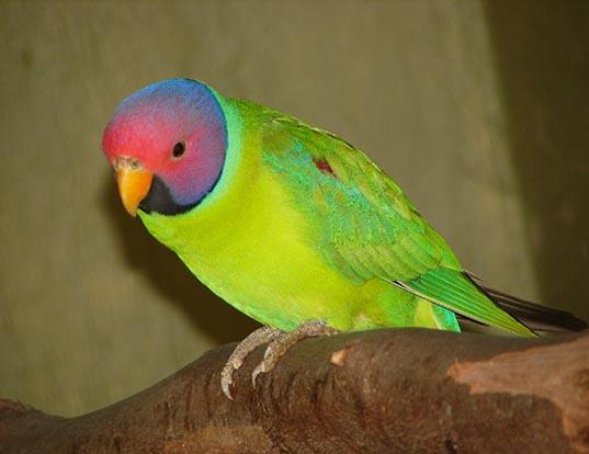 Picture of a plum-headed parakeet (Psittacula cyanocephala)
