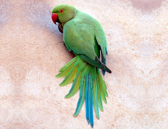 Picture of a ring-necked parakeet (Psittacula krameri)
