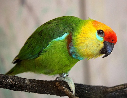 Picture of a large fig parrot (Psittaculirostris desmarestii)