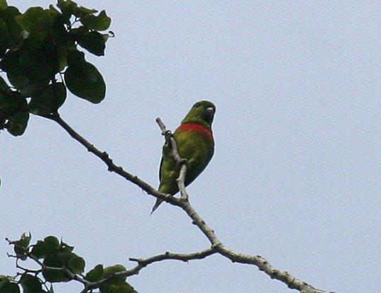 Picture of a salvadori's fig parrot (Psittaculirostris salvadorii)