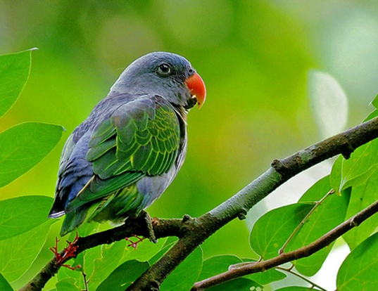 Picture of a blue-rumped parrot (Psittinus cyanurus)