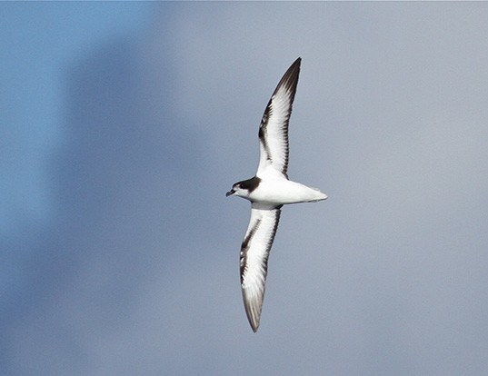Picture of a white-winged petrel (Pterodroma leucoptera)