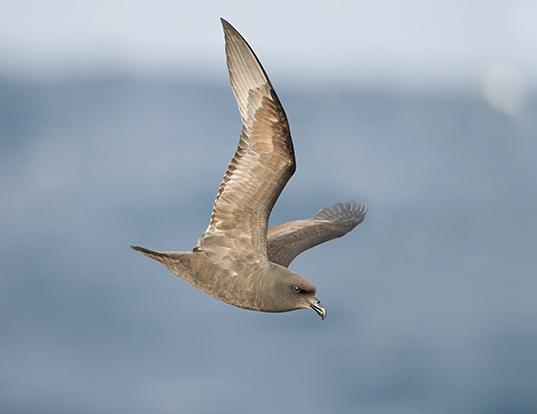 Picture of a great-winged petrel (Pterodroma macroptera)
