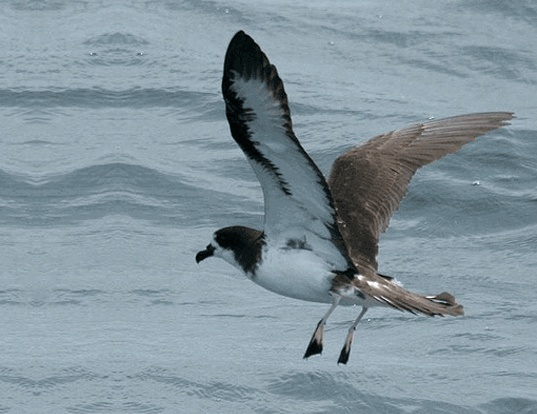 Picture of a galapagos petrel (Pterodroma phaeopygia)