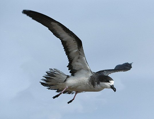 Picture of a hawaiian petrel (Pterodroma sandwichensis)