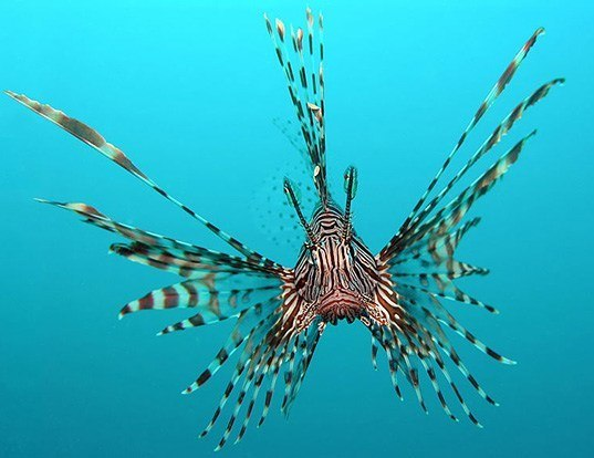 Picture of a red lionfish (Pterois volitans)