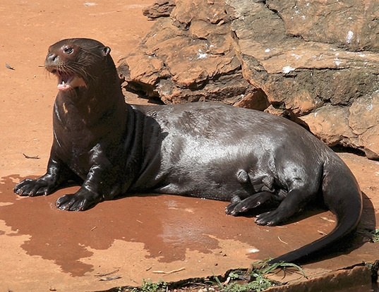 Picture of a giant otter (Pteronura brasiliensis)