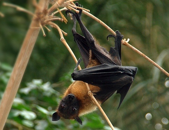 Picture of a indian flying fox (Pteropus giganteus)