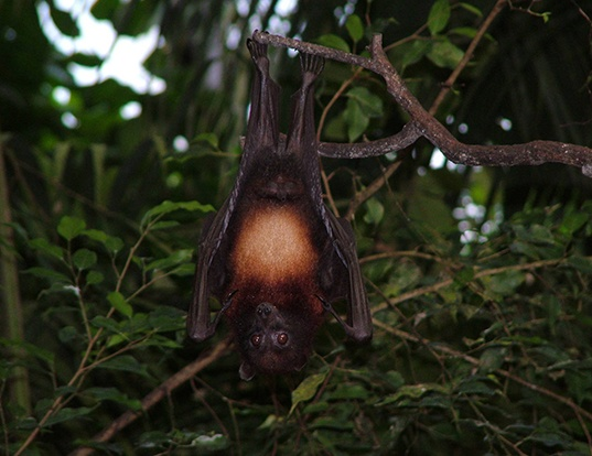 Picture of a island flying fox (Pteropus hypomelanus)