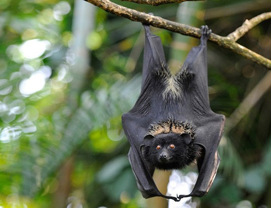Picture of a comoro black flying fox (Pteropus livingstonii)