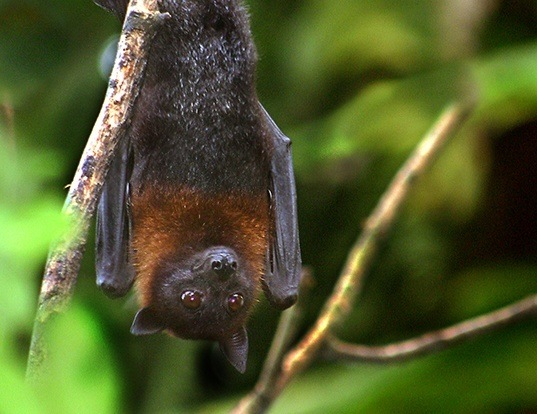 Picture of a lyle's flying fox (Pteropus lylei)