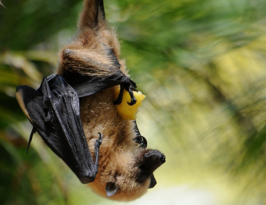 Picture of a greater mascarene flying fox (Pteropus niger)