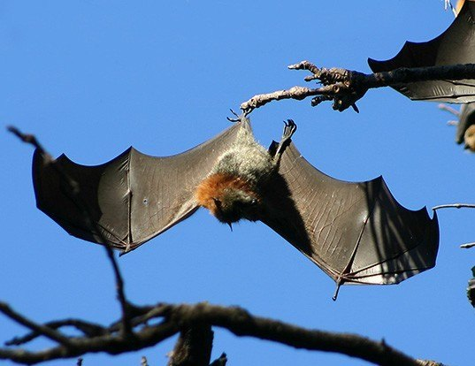 Picture of a gray-headed flying fox (Pteropus poliocephalus)