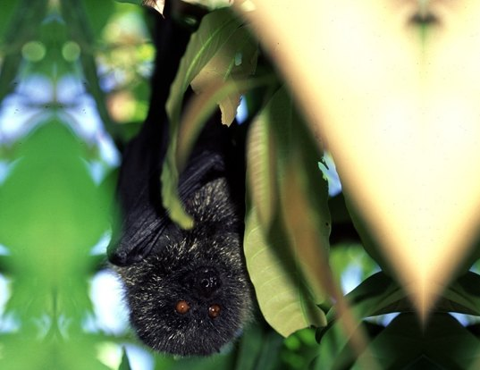 Picture of a bonin flying fox (Pteropus pselaphon)