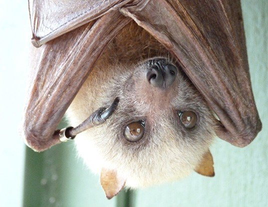 Picture of a little golden-mantled flying fox (Pteropus pumilus)