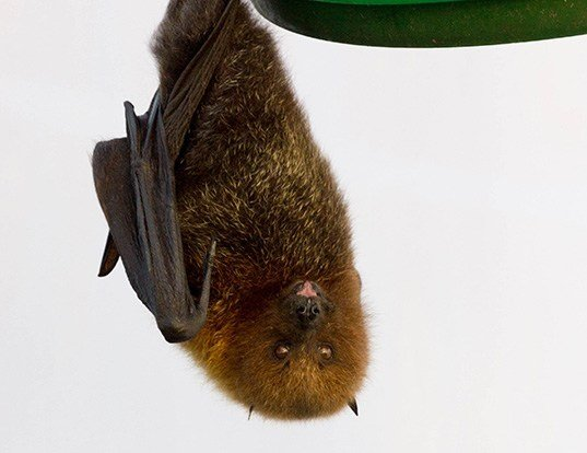 Picture of a rodrigues flying fox (Pteropus rodricensis)