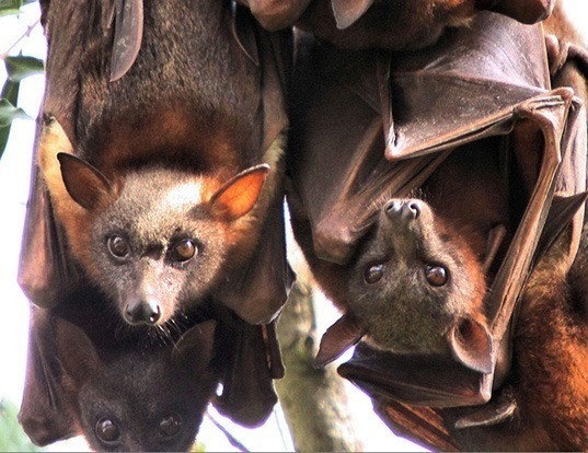 Picture of a little red flying fox (Pteropus scapulatus)