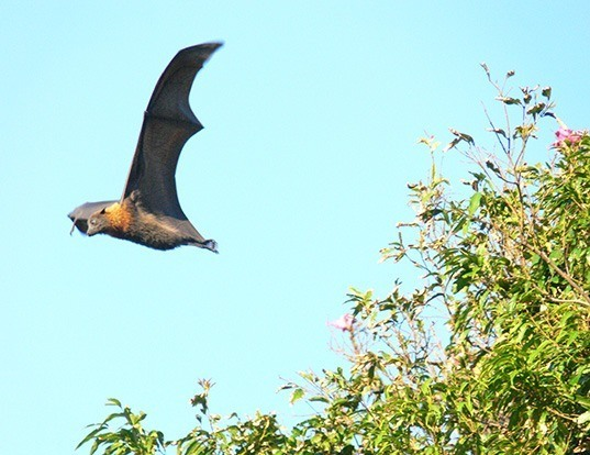 Picture of a large flying fox (Pteropus vampyrus)