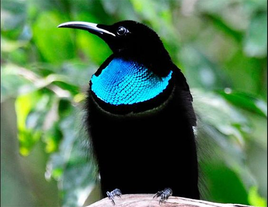 Picture of a magnificent riflebird (ptiloris magnificus)