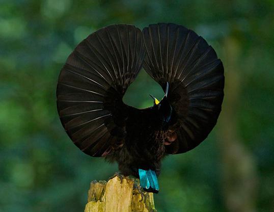 Picture of a victoria's riflebird (ptiloris victoriae)