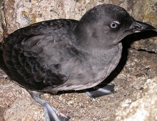 Picture of a cassin's auklet (Ptychoramphus aleuticus)