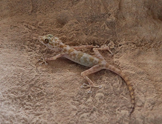 Picture of a yellow fan-fingered gecko (Ptyodactylus hasselquistii)