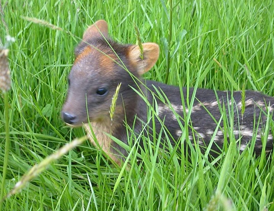 Picture of a northern pudu (Pudu mephistophiles)