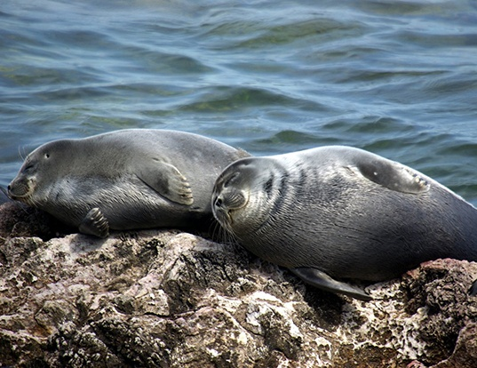 Picture of a baikal seal (Pusa sibirica)