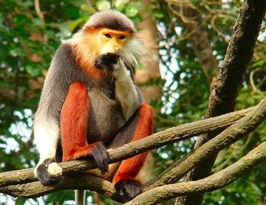 Picture of a red-shanked douc langur (Pygathrix nemaeus)